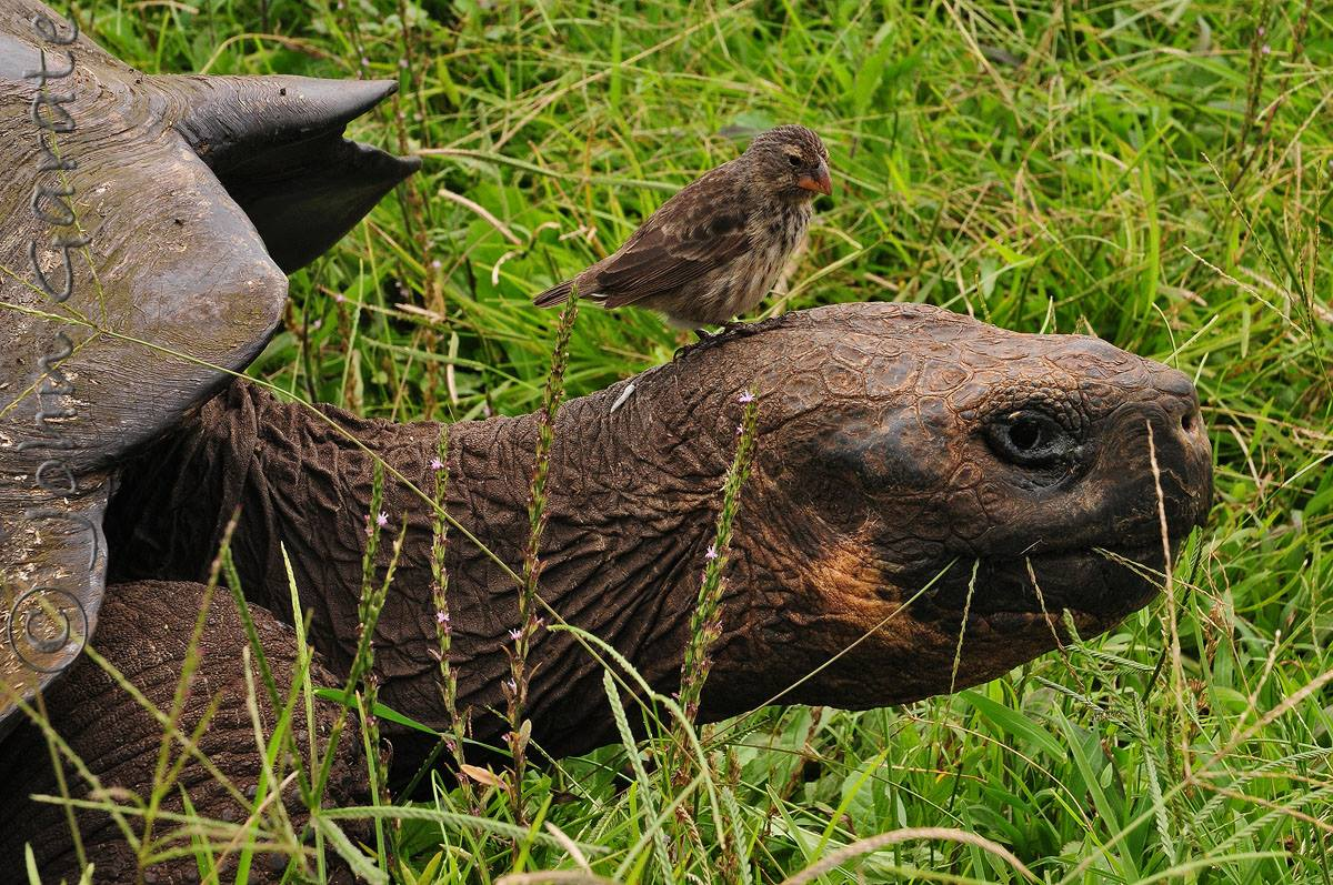 Galapagos tortoise & finch