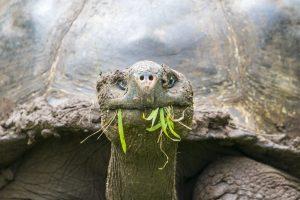 El Chato Tortoise Reserve Tortoise